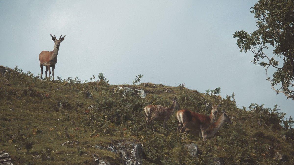 Versteckt in den Highlands - Rotwild