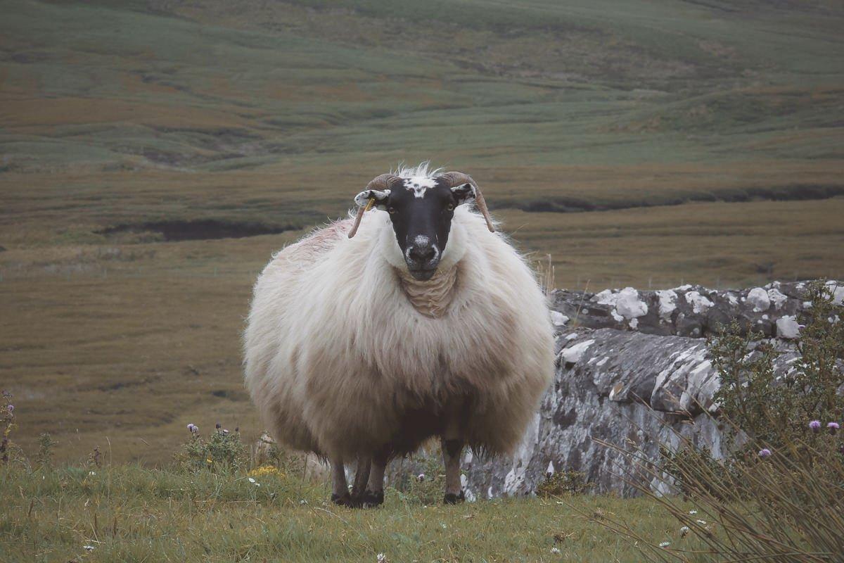 Versteckt in den Highlands - Schafbock