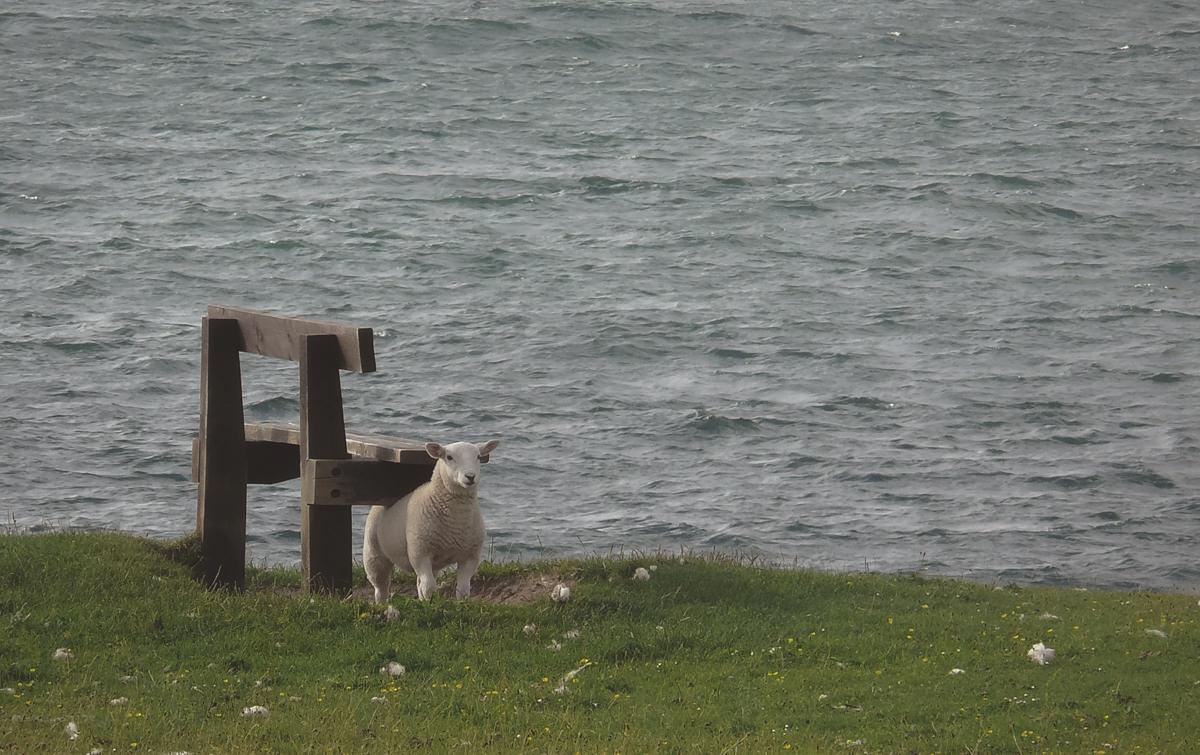 Versteckt in den Highlands - Schaf Shaun