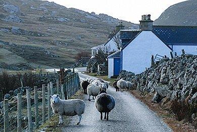 Versteckt in den Highlands - Schafe auf der Strasse